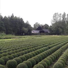 Kwekerij van Buxus, Multifloris